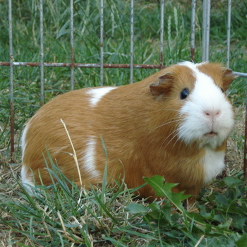 Oogdruppels Cavia / Hamster - 50 ml
