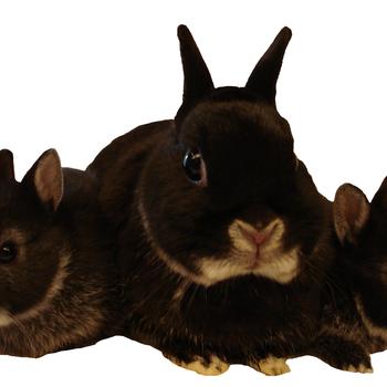 Oordruppels konijn - 50 ml
