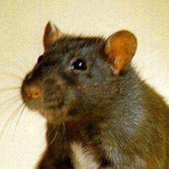 Oogdruppels ratten  - 50 ml