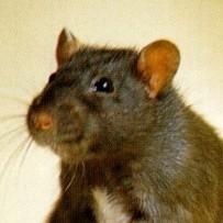 Shampoo ratten - 300 ml
