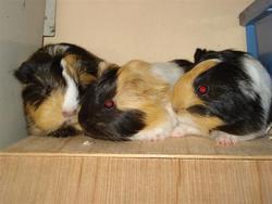 Konijn, Cavia, Hamster, Fret, Rat
